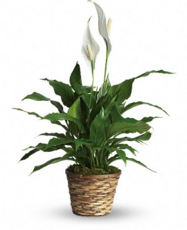 Simply Elegant Peace Lily – Standard
