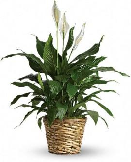 Simply Elegant Peace Lily – Premium