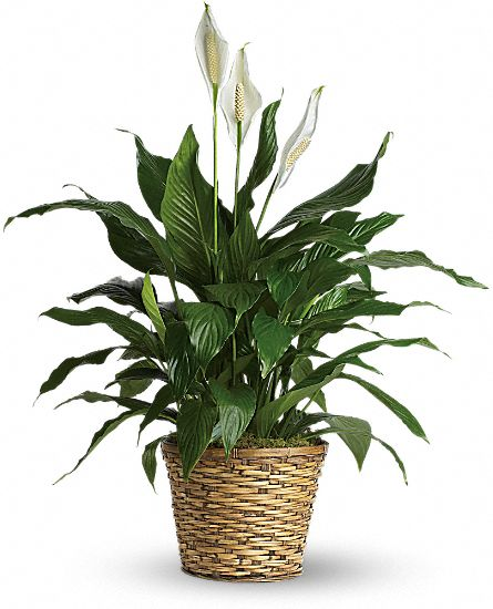 Image of Flowers or flower product titled Simply Elegant Peace Lily - Premium