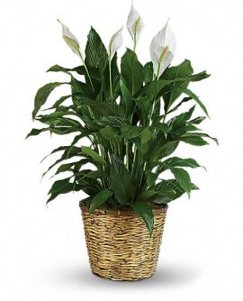 Image of Flowers or flower product titled Simply Elegant Peace Lily - Deluxe