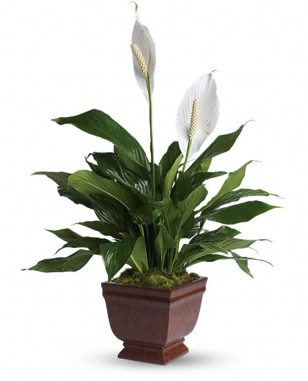 Image of Flowers or flower product titled Lovely One Spathiphyllum Plant