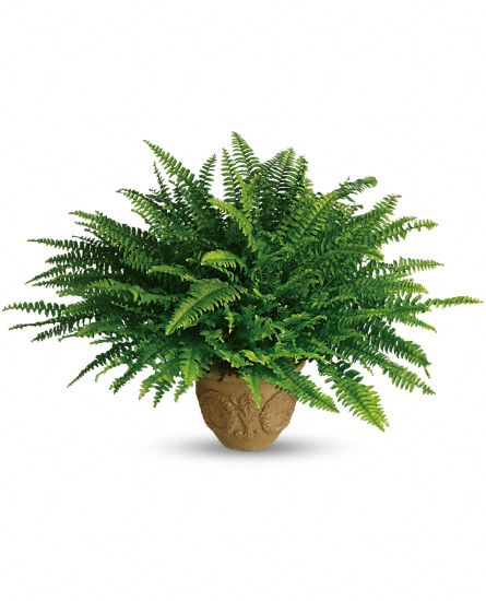 Image of Flowers or flower product titled Heartwarming Thoughts Boston Fern