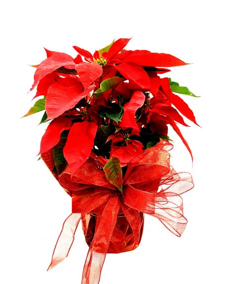 Image of Flowers or flower product titled Holiday Poinsettia